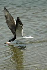 Black Skimmer, Bolsa Chica Ecological Reserve, Huntington Beach, CA (flyingibis) Tags:
