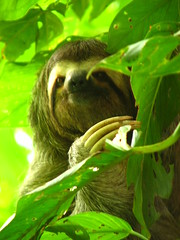 Ever seen a sloth shit in the woods? (C-Monster) Tags: costarica sloth haciendabaru perezoso marmeluca