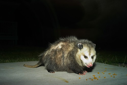 2036372885 d4cdfe5ae1 The Drooling Possum on the Porch