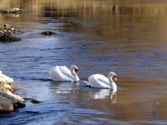 Cigne mut - Cisne común - Mute Swan (Cygnus olor) 1 (fturmog) Tags: birds fauna río river aves swans riu cygnusolor ocells cisnes cignes montoliudelleida