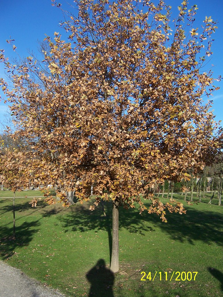Roissy-en-France - autumnal tree