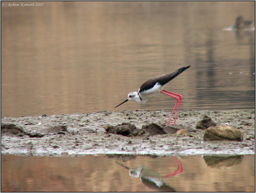 Black Winged Stilt Stabbing
