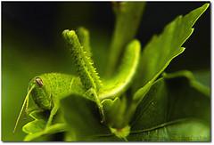 Grilo 3 (.Tatiana.) Tags: friends macro verde green closeup grilo filtro braganapaulista johanes fotoclube nacasadamami johanesduarte closeup42 siteparavendadefotos httpwwwplanobfotodesigncom fototatianasapateiro