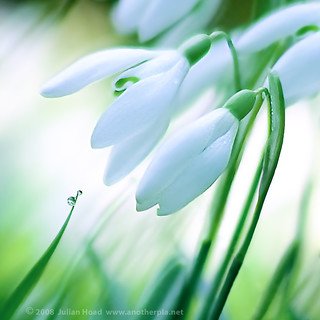 snowdrops and dewdrops