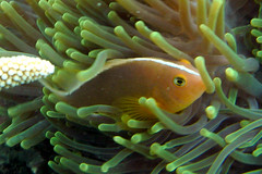Skunk Anemonefish on Koh Ngai Island