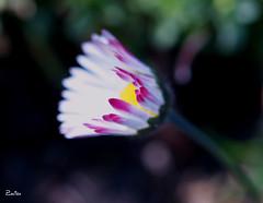 Margarita (_Zahira_) Tags: pink flower macro lafotodelasemana flor rosa olympus nd margarita e500 uro 100vistas 35mmmacro ltytrx5 ltytr1