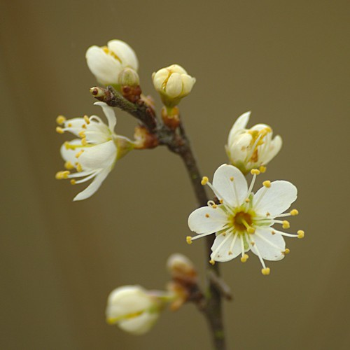 Prunus spinosa - Sleedoorn. Foto: AnneTanne. Creative Commons License