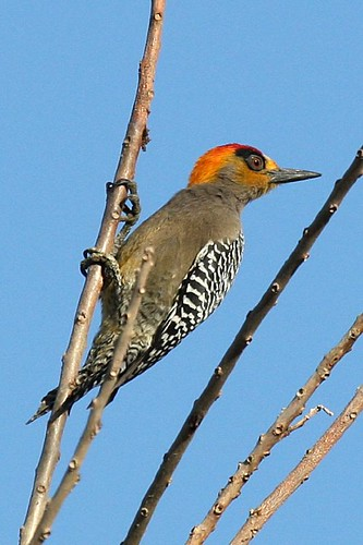 301V8765 Golden-cheeked Woodpecker by BobLewis.