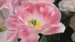 Printemps (blogspfastatt (+3.000.000 views)) Tags: pink color colour fleur beauty rose spring nice colorful colours printemps couleur farben kolor pfastatt avision blogspfastatt