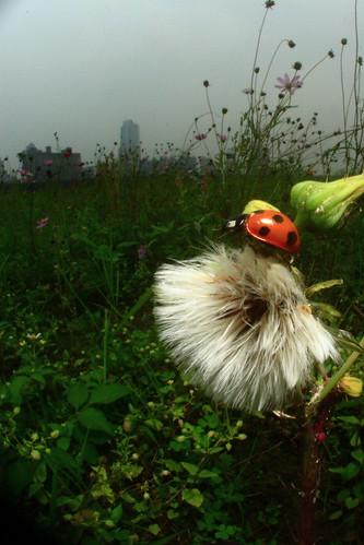 ladybug and blowball