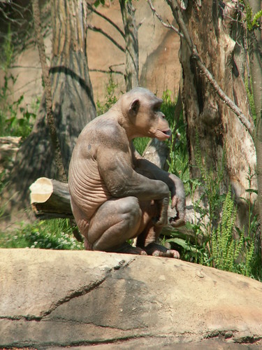 Seeing a shaved chimp makes you realise how fucked you are if you ...