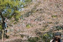 Ohanami 2008