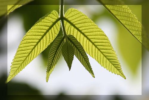 Leaf geometry