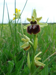 Early Spider Orchid in Meadow