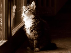 Chi va l??? (B@rbar@ (Barbara Palmisano)) Tags: pet window animal sepia cat finestra gato siberian gatto animale siberiano mywinners artedellafoto