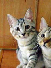 Curious Kaka (Chrischang) Tags: pet animal cat kaka 貓 zaizai 20080531
