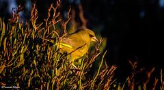 Verdilhao (Carduelis chloris) (Fernando Delgado) Tags: fringillidae aves passeriforme passeriformes birds birdwatching riaformosa fimdodia faro ludo carduelischloris chlorischloris