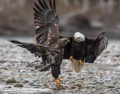 Square Off (elliott845) Tags: eagle baldeagle raptor birdsofprey washinton washingtonstate pnw pacificnorthwest skagit skagitriver animal bird nature