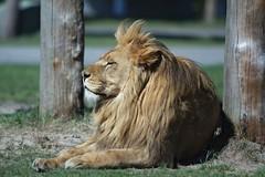 Lwe_k (AnZy1966) Tags: tiger cheetah whitetiger whitelion gepard weisetiger weiselwen jungeweiselwen
