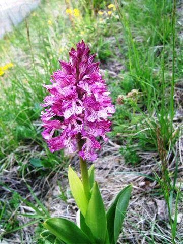 Orchis purpurea=Orchis pourpre0010