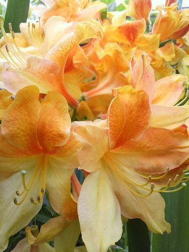 Yellow Japanese azalea