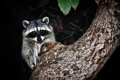 Here's The Deal (hbmike2000) Tags: animal night nikon critter d200 raccoon 100pictures hbmike2000