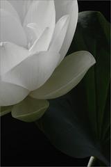 Lotus Flower -IMG_9957-1-800 (Bahman Farzad) Tags: flower macro yoga peace lotus relaxing peaceful meditation therapy lotusflower lotuspetal lotuspetals lotusflowerpetals lotusflowerpetal