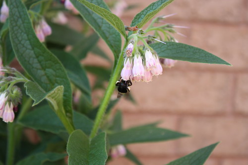 Bee Collecting Pollen from Comfrey