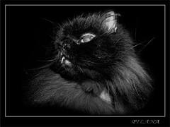 Tooth (PILANA) Tags: blackandwhite bw cats black animal animals cat olympus olympusc5060 animalplanet c5060 pilana kipo bestofcats impressedbeauty renatomajeti olympusc5060widezoom