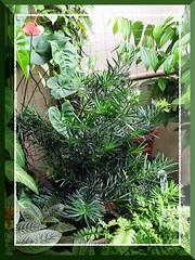 3.5 years old potted Podocarpus macrophyllus var. Maki amongst other plants at our frontyard, taken October 20, 2006