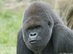Bobby (gentle lemur) Tags: gorilla regentspark londonzoo zsl