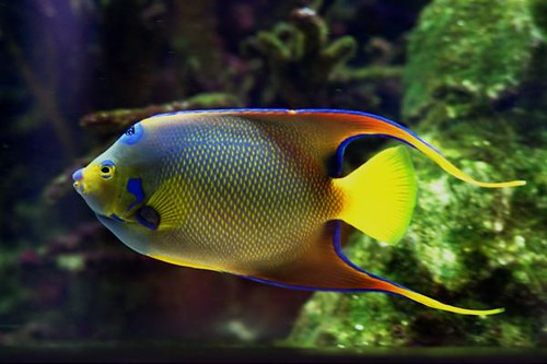 Queen Angelfish - Nashville Zoo at Grassmere