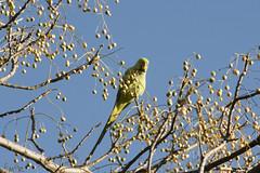 cotorradekramer_EMG0491 (facetnuc) Tags: birds nikon aves kramer cotorra d300 70300vr