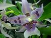 blue and purple orchid (chippewabear) Tags: flowers blue orchid macro floral fauna purple orchids blossoms spots blooms lavendar blueribbonwinner nauture golddragon avision golddragonaward excellentsflowers