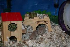 IMG_7873 (AnnDeeScraps) Tags: pet animal gerbil babies