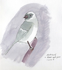 lunchtime painting: dark-eyed junco