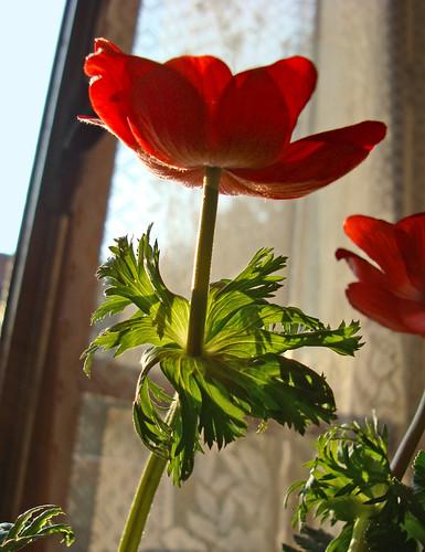 Feuilles d'anemone au soleil d'après-midi
