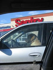 Dog behind the wheel at Sentry