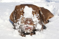 """Snow-licious"" (cowgirlrightup) Tags: snow sadie chocolatelab mybestfriend cowgirlrightup abigfave straightfromthecam anawesomeshot snowbabe impressedbeauty diamondclassphotographer flickrdiamond snowlicious"