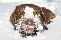 """Snow-licious"" (cowgirlrightup) Tags: snow sadie chocolatelab mybestfriend cowgirlrightup abigfave straightfromthecam anawesomeshot snowbabe impressedbeauty diamondclassphotographer flickrdiamond snowlicious"