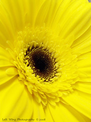 Daisy Daze (left wing lucy) Tags: flower macro nature floral fauna botanical gerbera daisy flowerotica