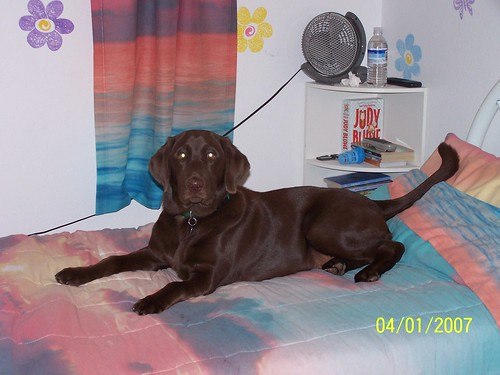chocolate labrador - Bello