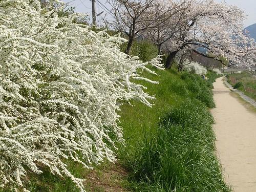 20080405 哲学の道・鴨川の桜 192