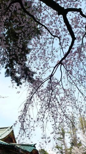 Tokyo Sakura 05