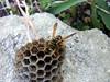 Vespa su favo (finieddu) Tags: sardegna fauna vespa favo polistesdominulus beautifulmonsters