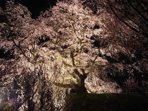 又兵衛桜(ライトアップ)-09