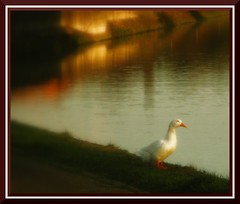 Canard  l'orange (BrigitteChanson) Tags: bird rio river duck rivire pato picturesque oiseau canard uccello sambre anatra supershot imagepoetry imageposie theunforgettablepictures theperfectphotographer goldstaraward lesamisdupetitprince