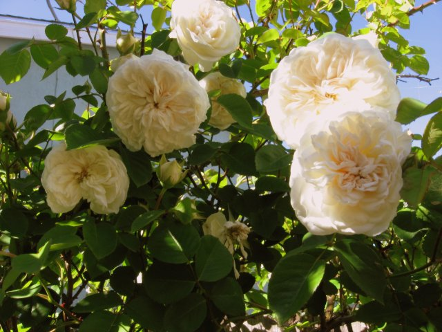 roses 4-27 001