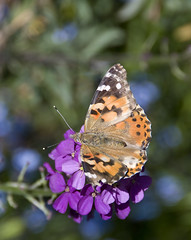 Painted Lady, Purple Flower (gherringer) Tags: canada butterfly bc britishcolumbia vancouverisland paintedlady vanessacardui 3mp milnergardens ilovemypics