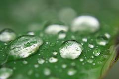 Water eyes (ifoto.cl) Tags: verde green hoja water rain leaf drops agua gotas fotografia gotitas thok tamoe thokrates